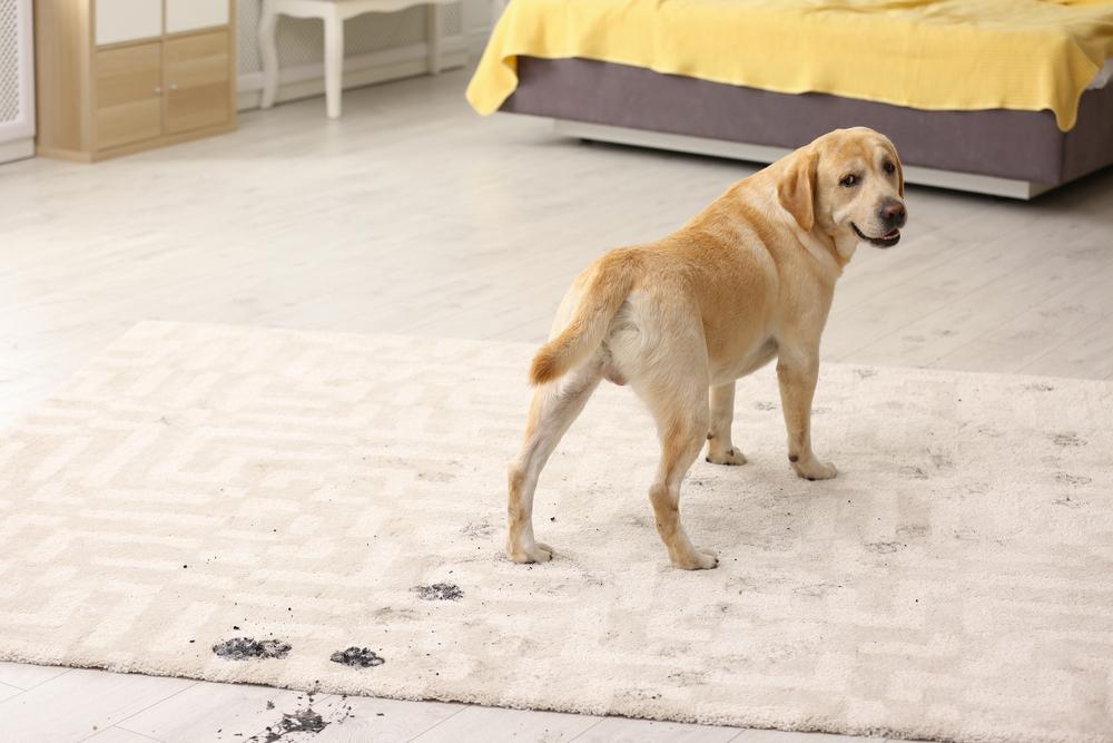 Phương pháp làm sạch vết bẩn từ vật nuôi trên thảm trải sàn